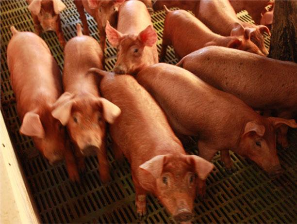 El consumo de cerdos es muy alto en China.