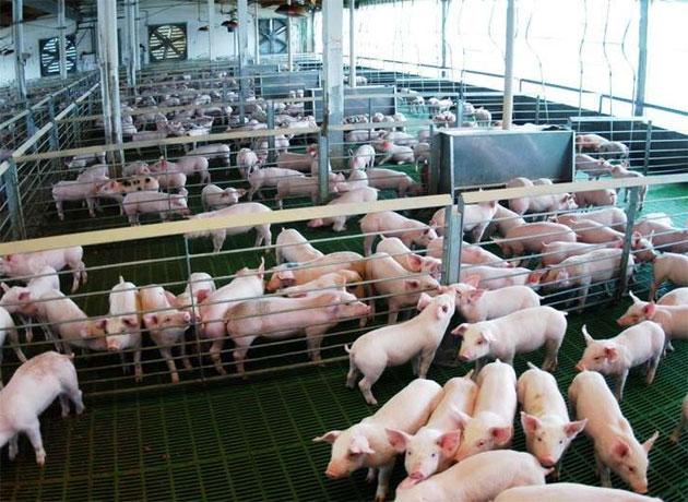 La aparición de un nuevo tipo de fiebre porcina hace temer una matanza sanitaria en Asia, que complique la exportación argentina