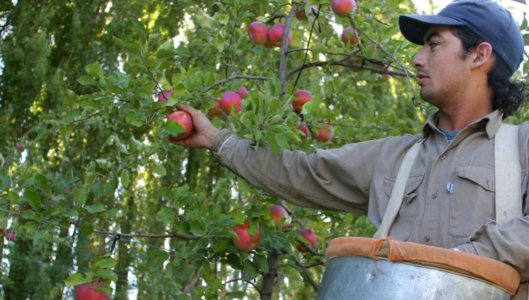 Cosecha de manzanas en la Argentina.
