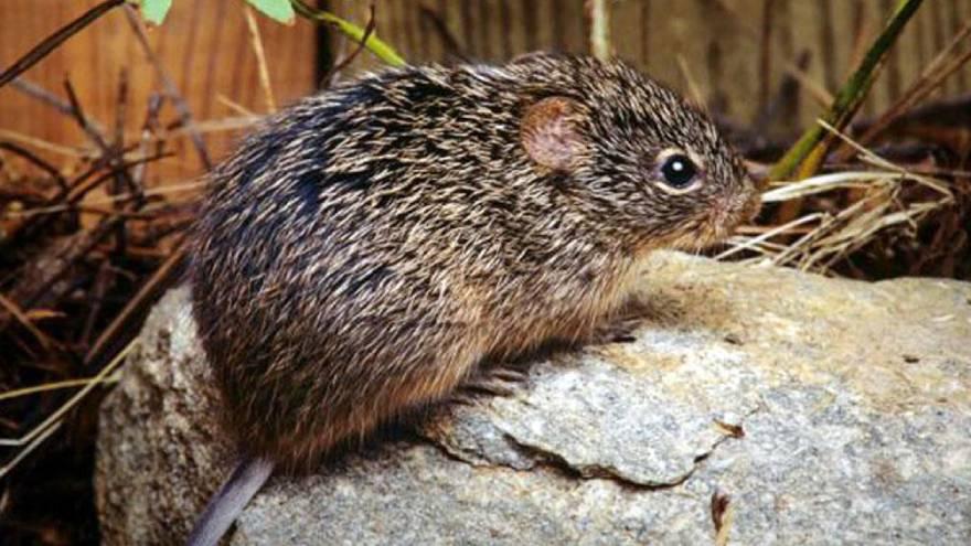 El hantavirus se contagia por las heces y la orina de un tipo de ratón muy común