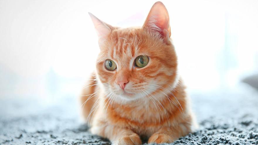 Para muchas personas, el gato es el mejor compañero.