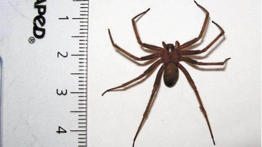 Este es el tamaño de la araña de rincón