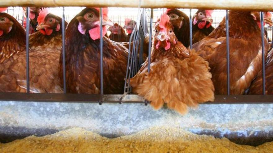 Los brotes de gripe aviar obligaron a sacrificar miles de aves.