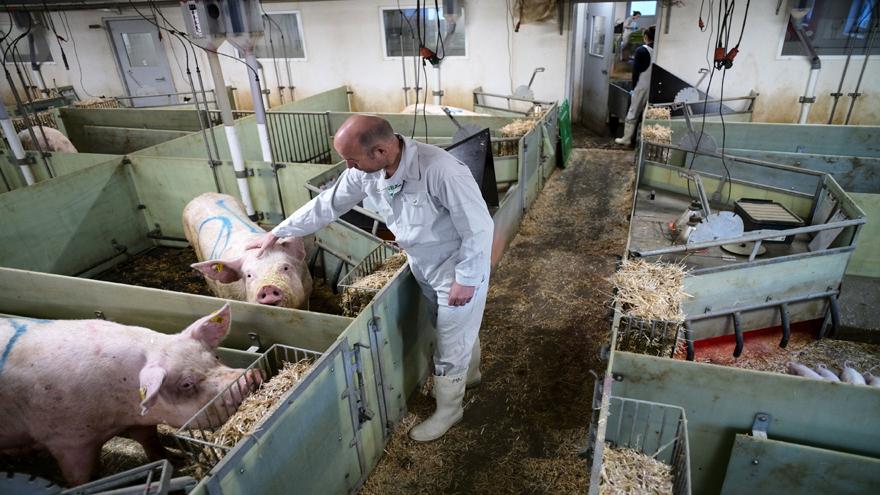 China aniquiló al 40 por ciento de su ganado porcino tras la irrupción de la peste africana.