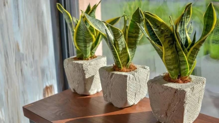 La planta serpiente tiene la capacidad de eliminar ciertas sustancias del aire