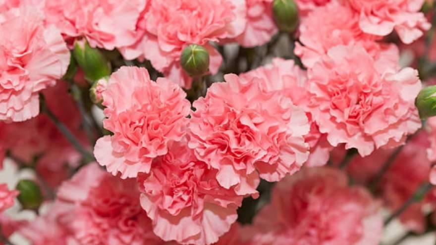 Los claveles son una flor que se suele regalar en el día de la madre en Japón