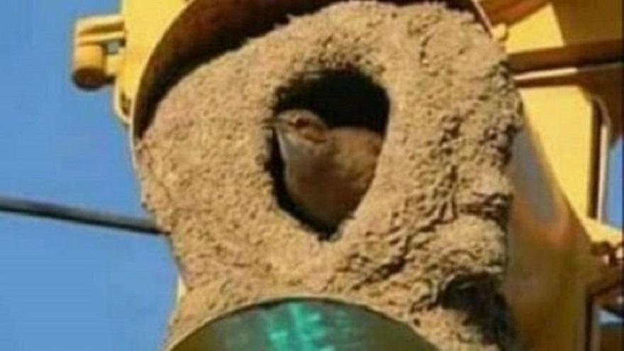 El hornero que construyó su nido en el semáforo del cruce entre dos avenidas