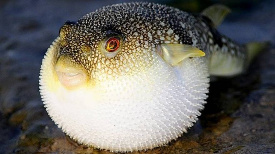 El pez globo es una comida frecuente en algunos países