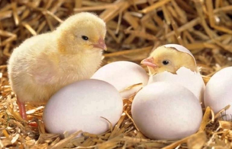 El acertijo viral de los huevos y las gallinas que tiene en vilo a todos