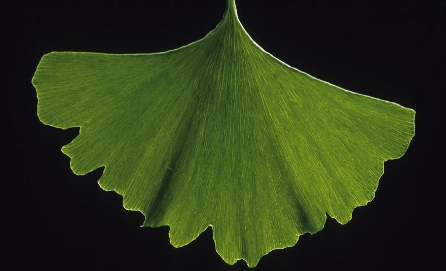 Las hojas de Ginkgo Biloba, puramente verdes