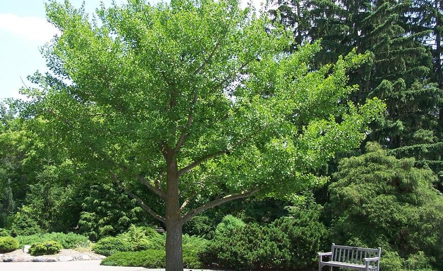 Así es el árbol de Ginkgo Biloba.
