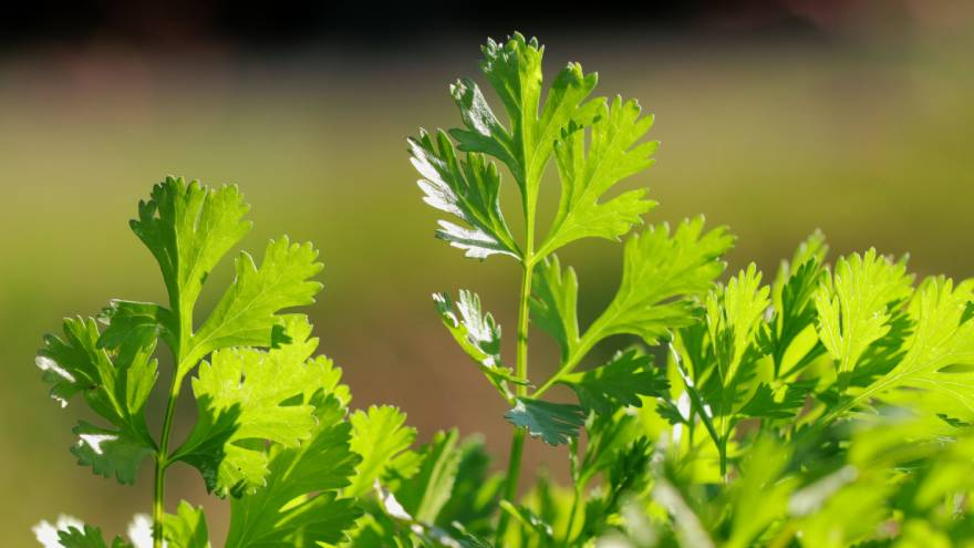 Según las culturas ancestrales, el cilantro tendría algunas propiedades medicinales