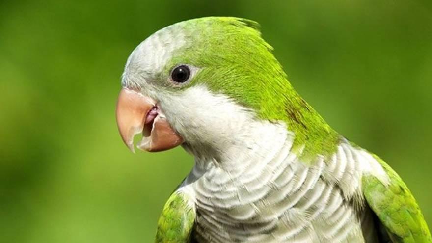 Las aves enfermas son las que transmiten la psitacosis