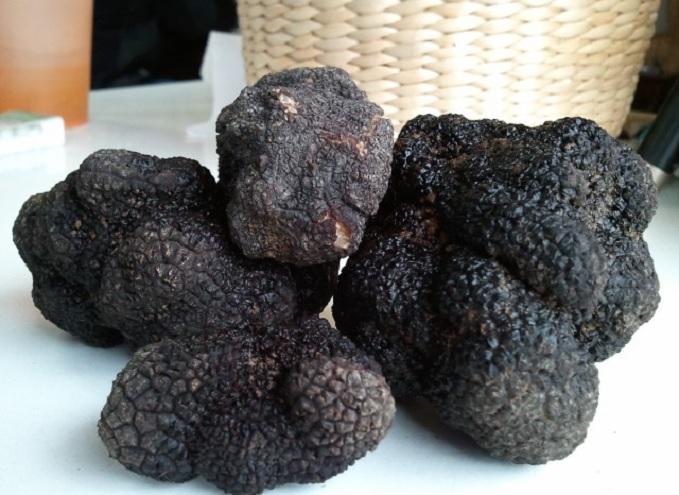 Argentina se convirtió en uno de los pocos países productores y exportadores de la trufa negra del Perigord