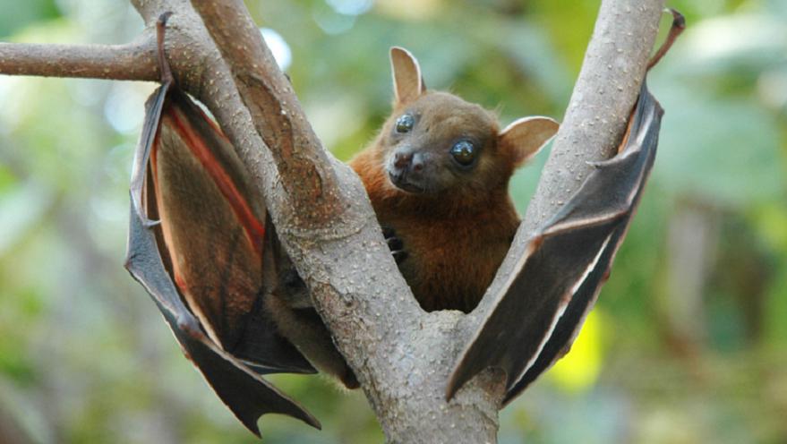 Murciélagos de la fruta, posible portadores del virus Nipah.
