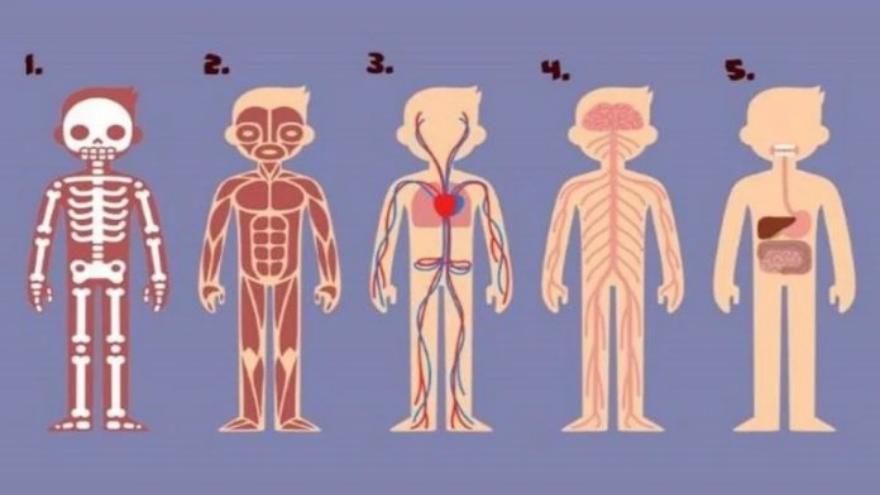 Las opciones son el esqueleto, los músculos, el sistema circulatorio, el sistema nervioso y el sistema digestivo
