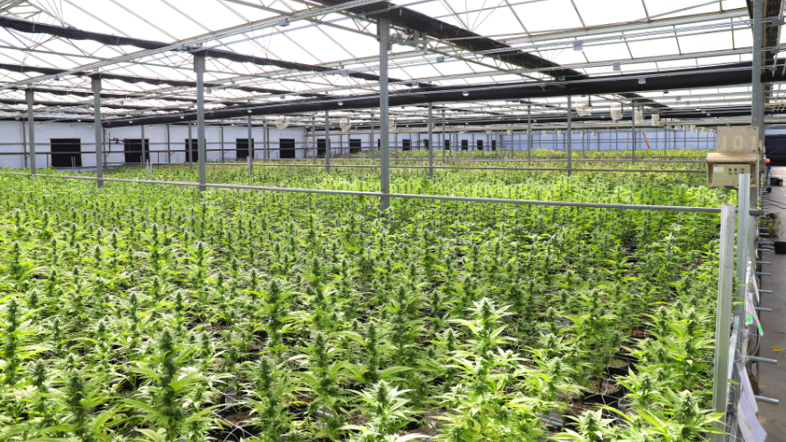 La nueva ley sancionada en Mendoza regula el cultivo de Cannabis con fines medicinales
